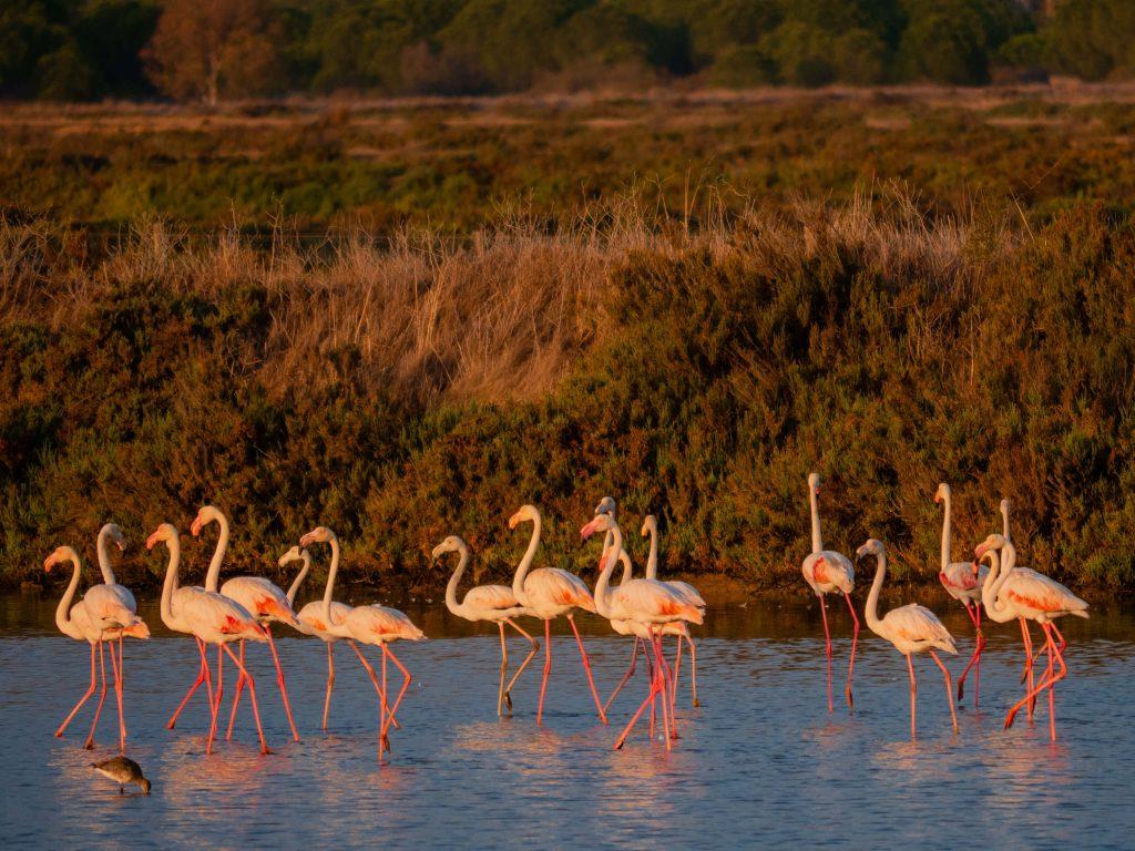 Flamingo Flock Algarve