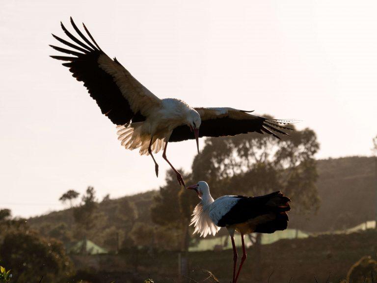 Storks in Portugal – Cegonha Branca