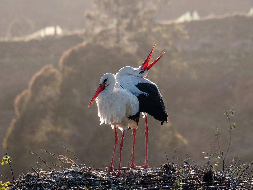 Storks Clattering in Portugal