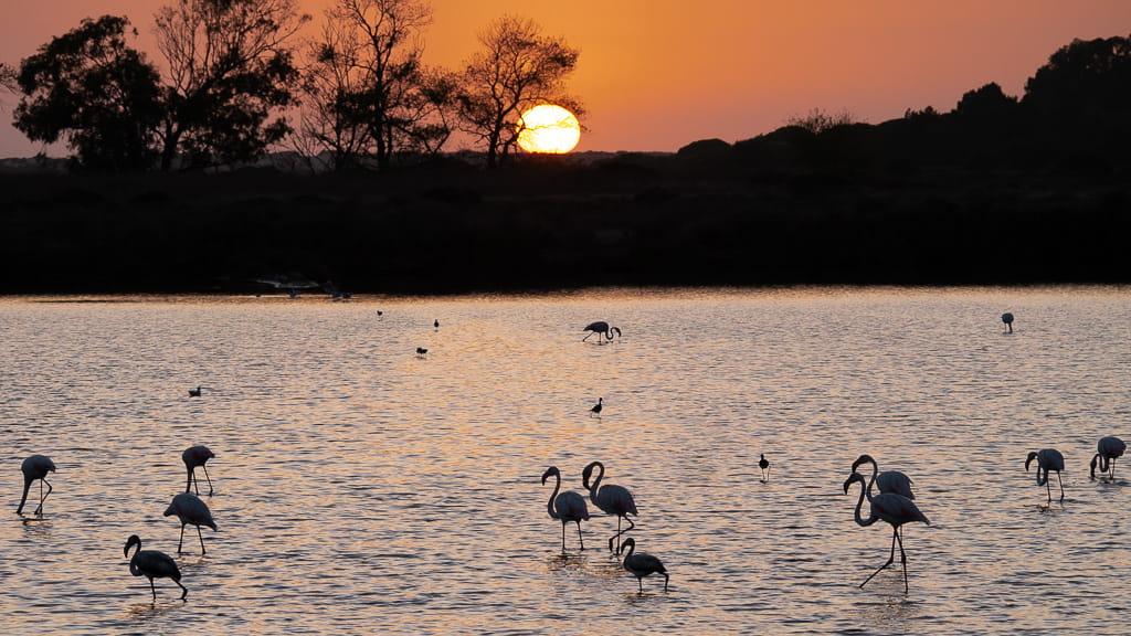 Flamingos in the Ria Formosa lagoon